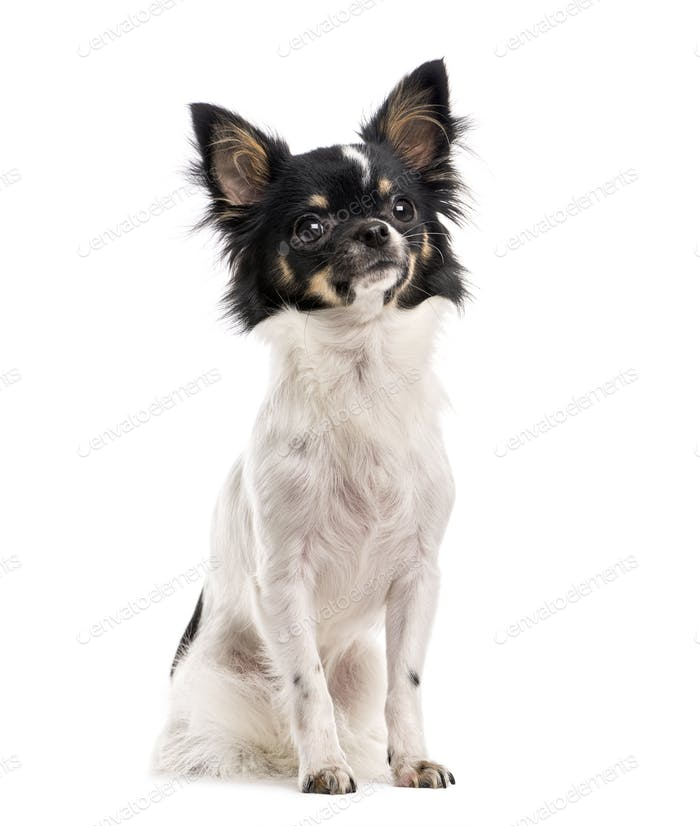 Chihuahua (10 months old)