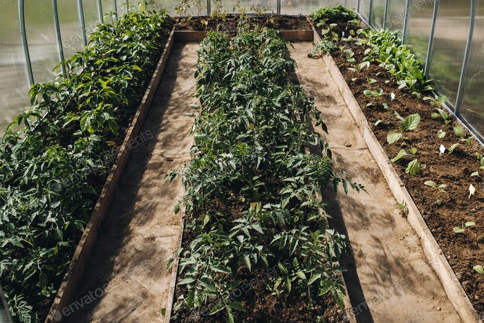 Tomato sprouts in the greenhouse, tomato seedlings in the greenhouse for planting