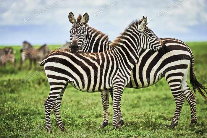Two beautiful zebras in Africa
