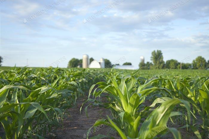 Junge Maispflanzen im Feld mit Bauernhof in der Ferne