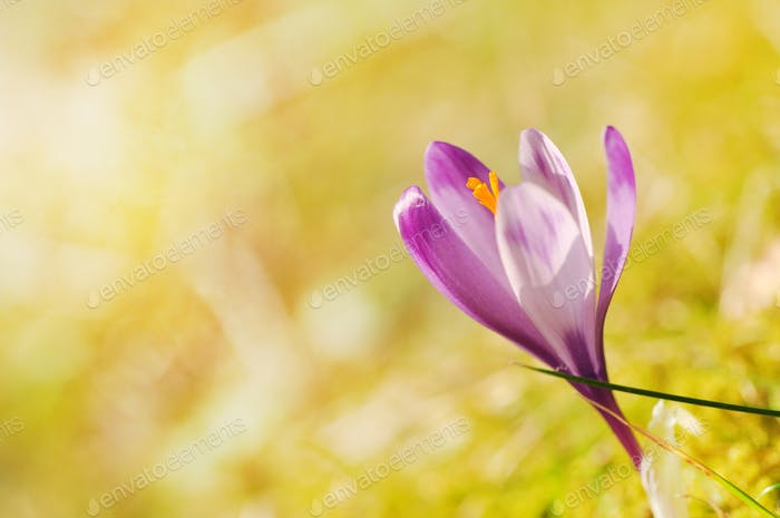 Purple crocus flower blooming in the spring