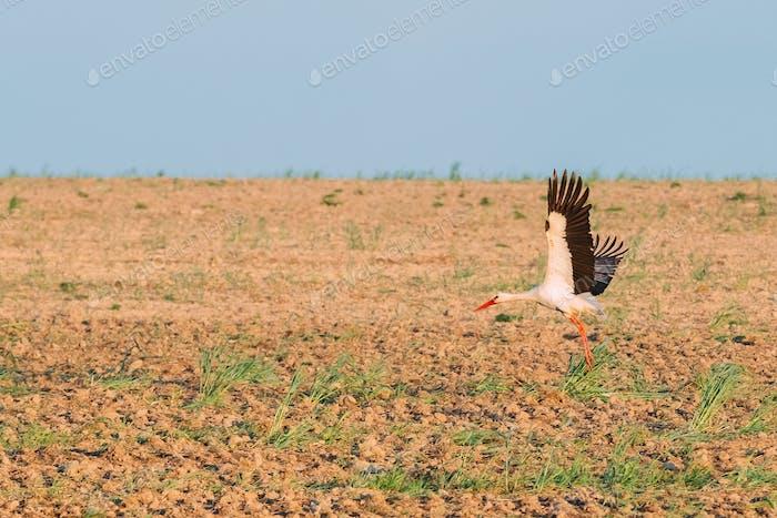 Cigogne blanche européenne adulte qui décolle du champ agricole.
