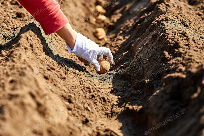 Woman hand planting potato tubers into the ground.
