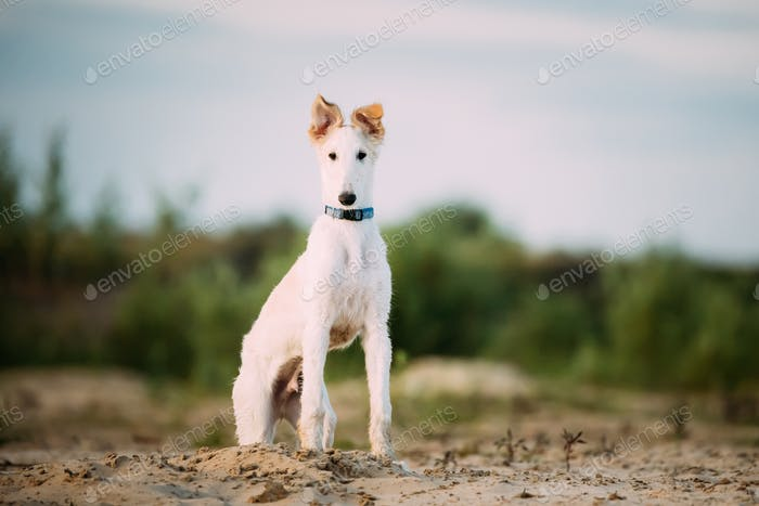 Puppy Of Russian Wolfhound Hunting Sighthound Russkaya Psovaya B