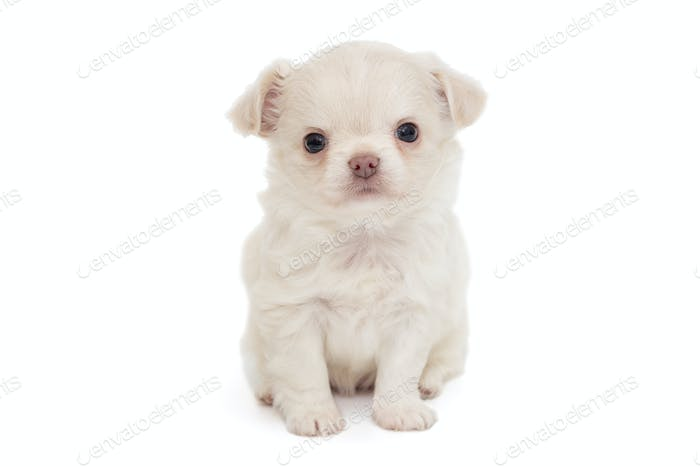 Small white Chihuahua puppy