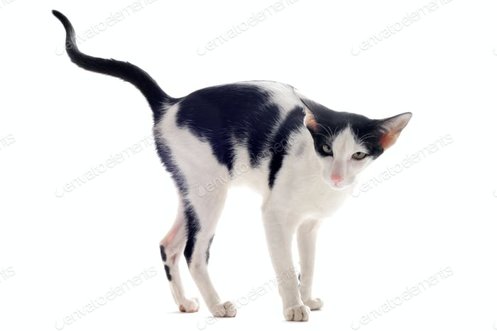 urinating oriental cat