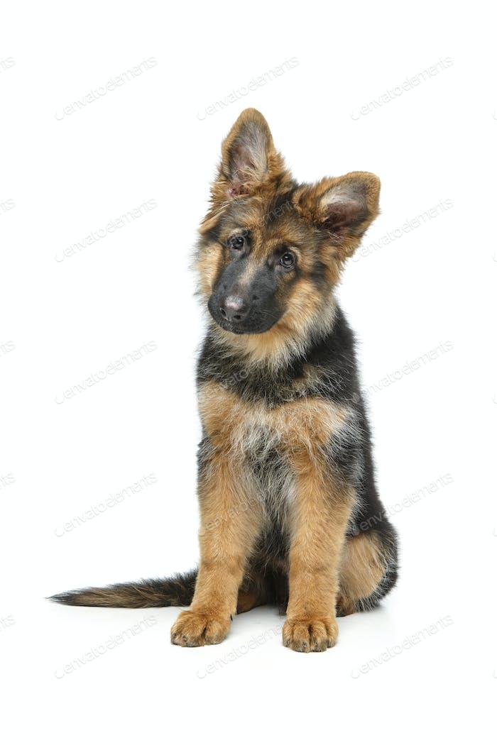 красивый немецкий щенок шепард
