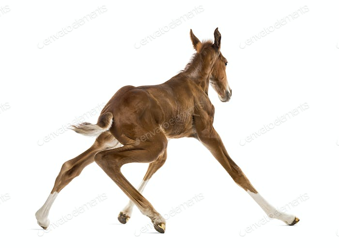 Rear view of a foal standing up and balancing