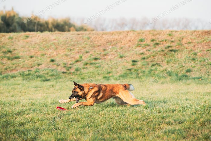 Malinois Dog Play Running With Plate Toy Outdoor In Park. Belgian Sheepdog Are Active, Intelligent