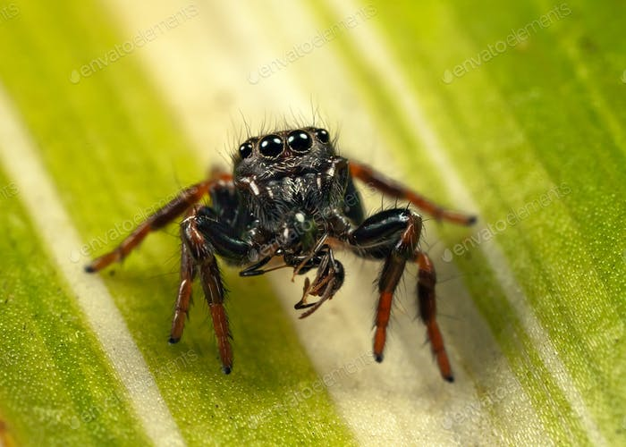 jumping spider and ant