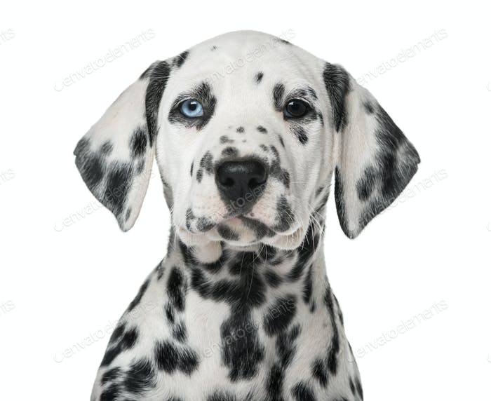Close-up of a Dalmatian puppy with heterochromia in front of a white background