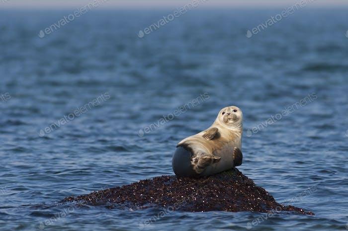 Harbour Seal resting on a rock in ocean.