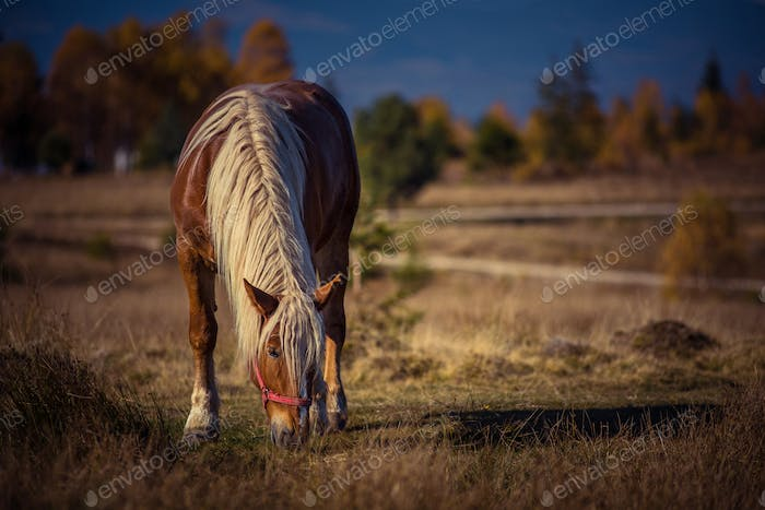 Grazing horse on alpine pasture in the autumn