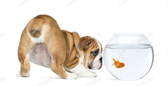 Rear view of an English Bulldog Puppy staring at a goldfish in a bowl aquarium
