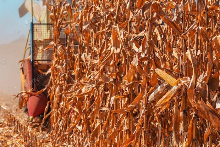 Modern combine harvester is harvesting corn crops