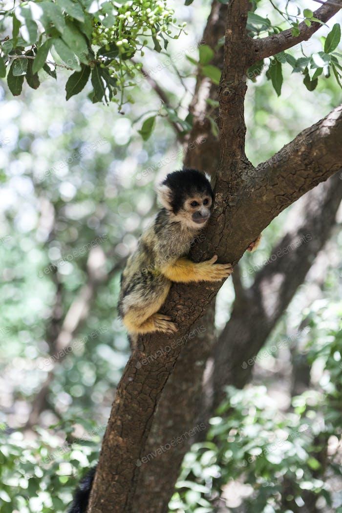 Niedlicher kleiner Affe