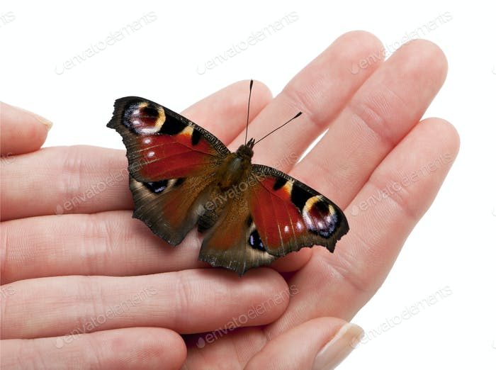European Peacock moth, Inachis io, on a hand in front of white background