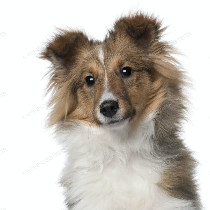 Shetland Sheepdog puppy, 5 months old, in front of white background