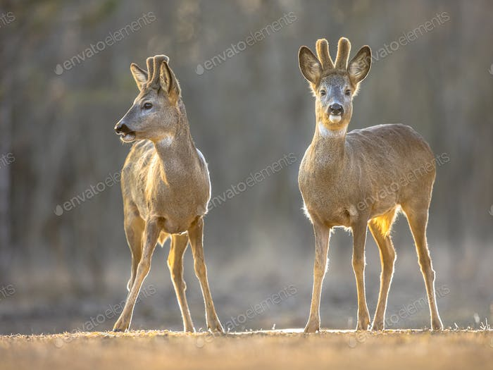 Two Roe deer on clearing
