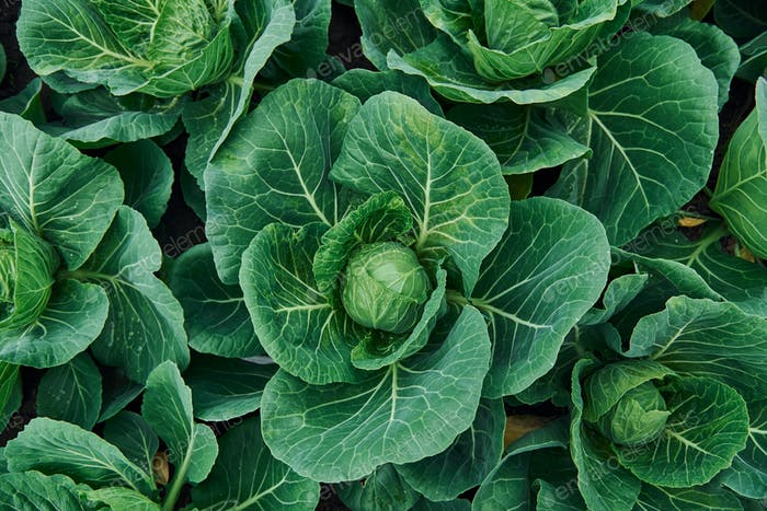Top view of green fresh cabbage that growing at the farm's soil