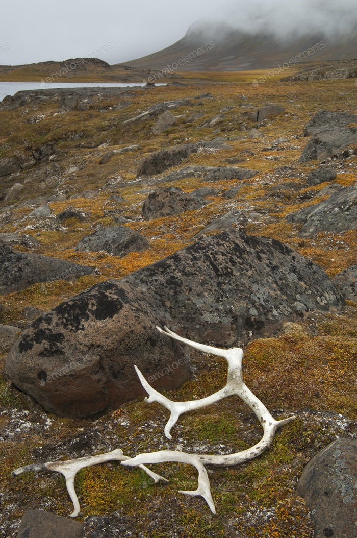 Antlers on the moss covered rocks in Svalbard, Norway.