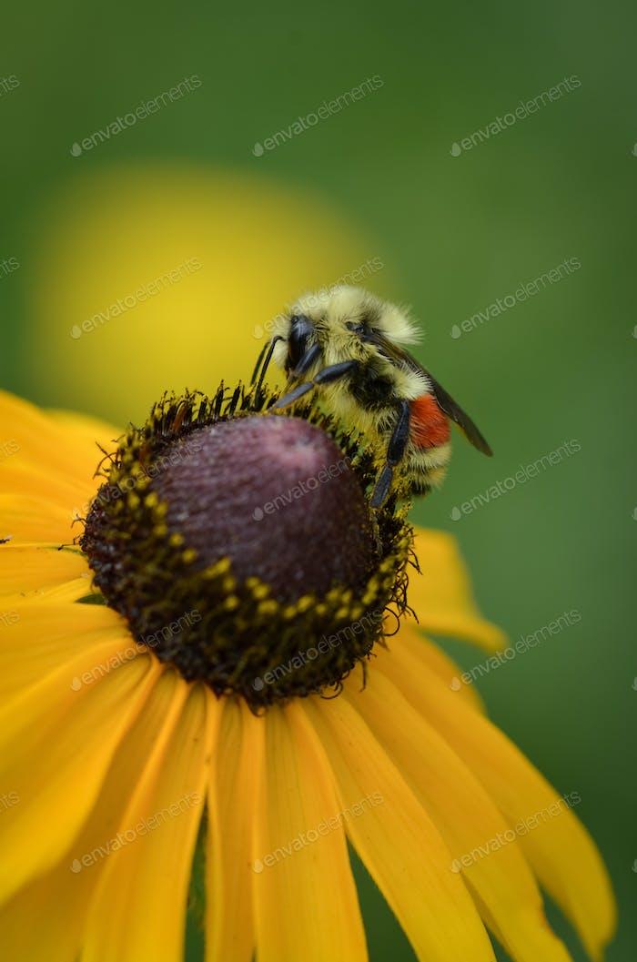 Bee on Brown Eyed Susan