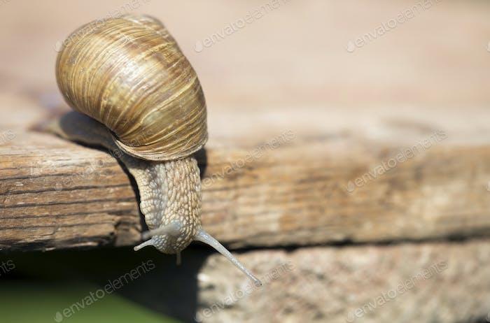 Slimy slow snail crawling