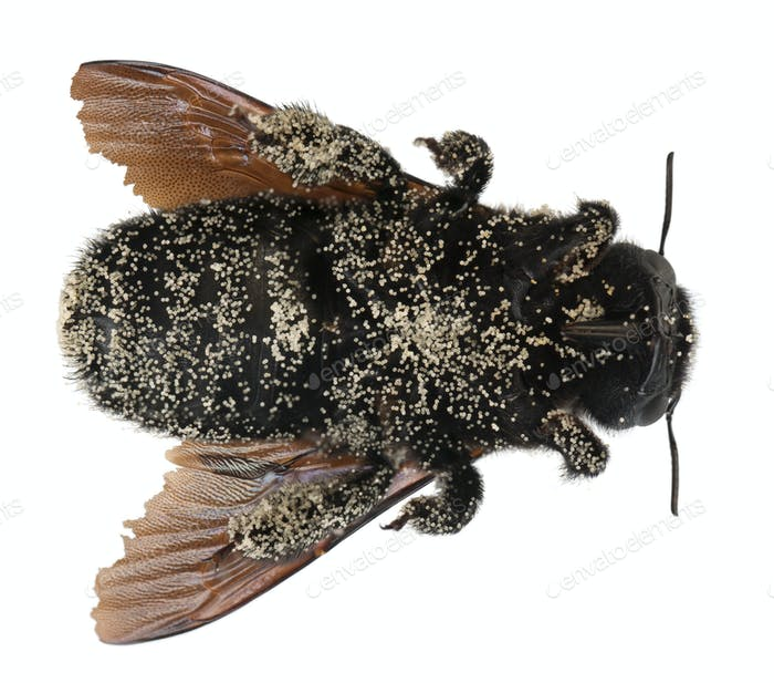 Female Carpenter bee covered with pollen grains, Apis violacea, in front of white background