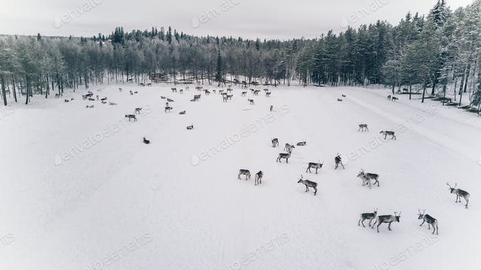 Aerial view of reindeer herd in winter Lapland Finland