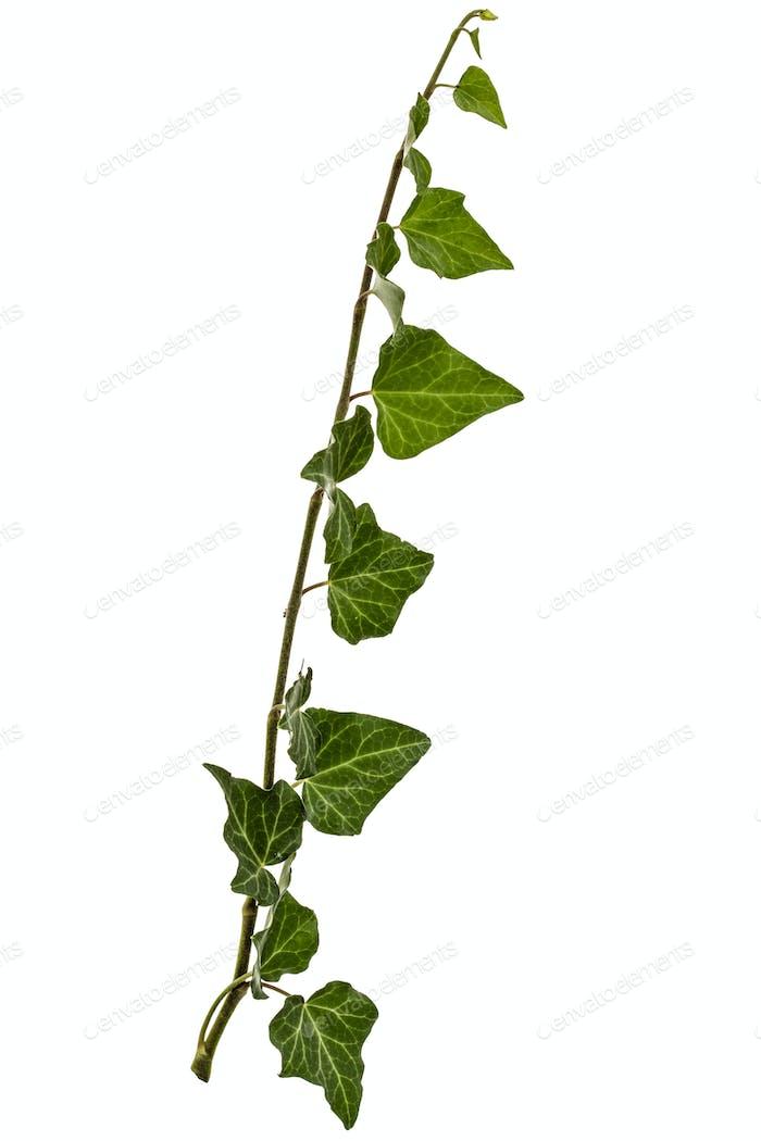 Grüner Efeu Zweig, isoliert auf weißem Hintergrund