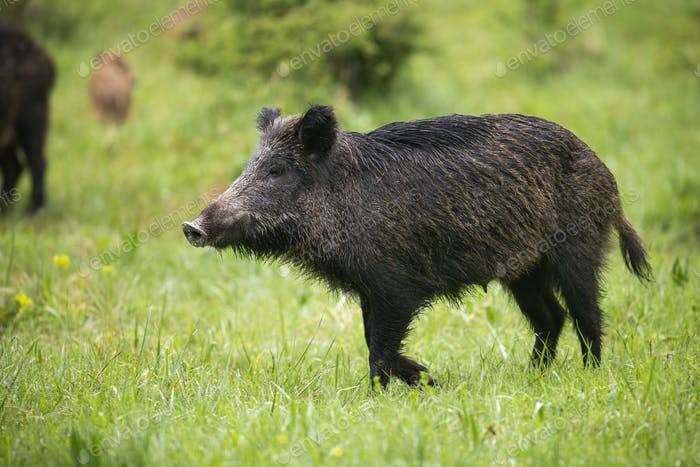 Female wild boar walking on green meadow with rest of herd behind