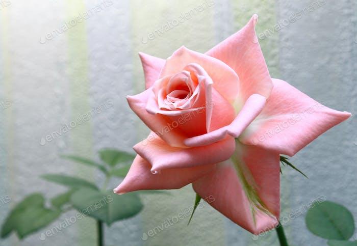 Schöne zarte rosa Rose