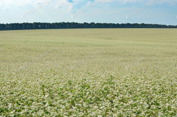Buckwheat field under cloudy blue sky summer day