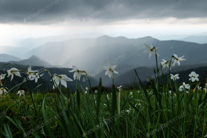 Mountain meadow covered with white narcissus flowers