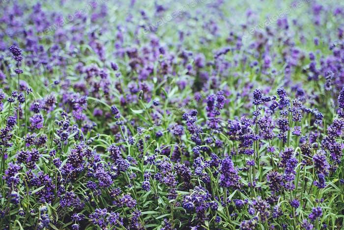 Lavender flower close up. Purple lavender flowers. Potted lavender plants background