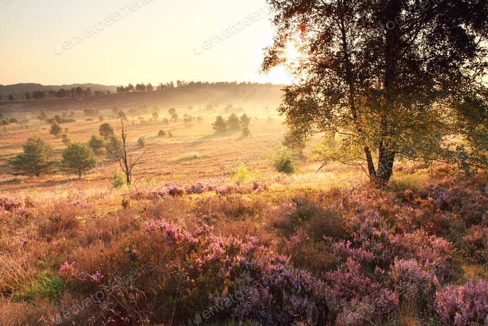 bright golden sunrise over heathland