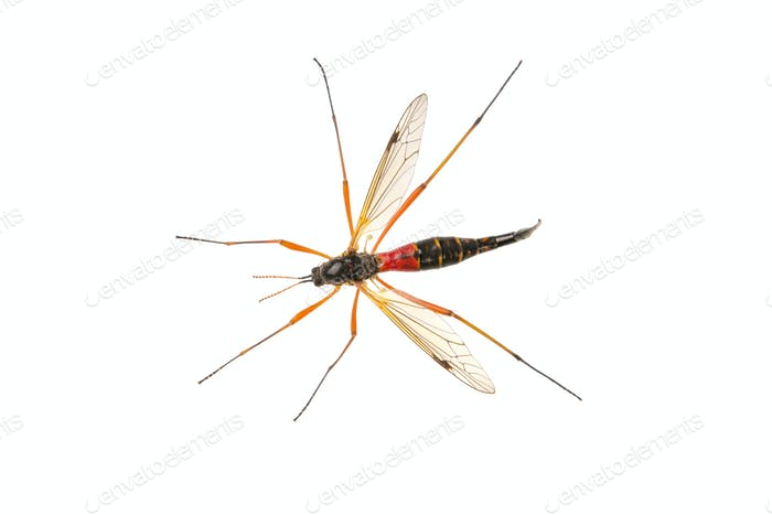 Crane fliees (Tanyptera atrata) on a white background