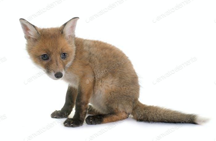 fox cub in studio