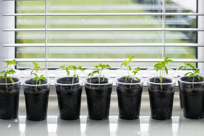 Small seedlings in plastic glass on a windowsill