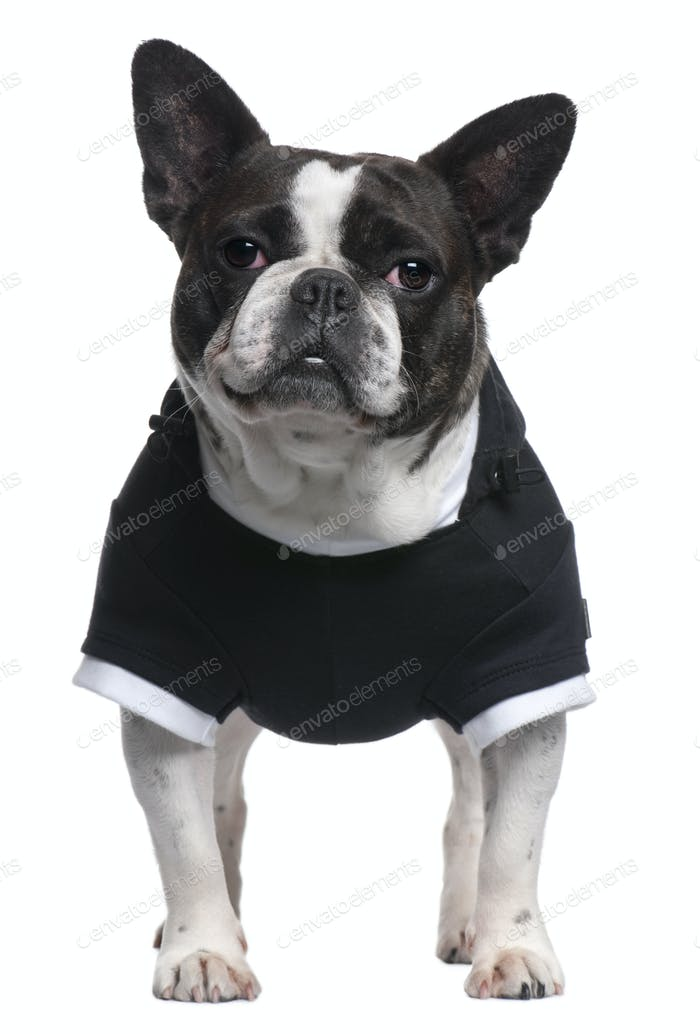 French Bulldog, 4 years old, dressed in black top standing in front of white background