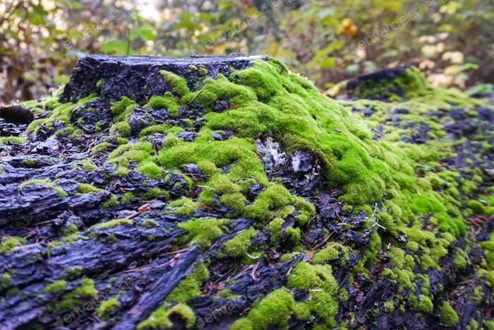 Moss on a tree trunk after rain, California