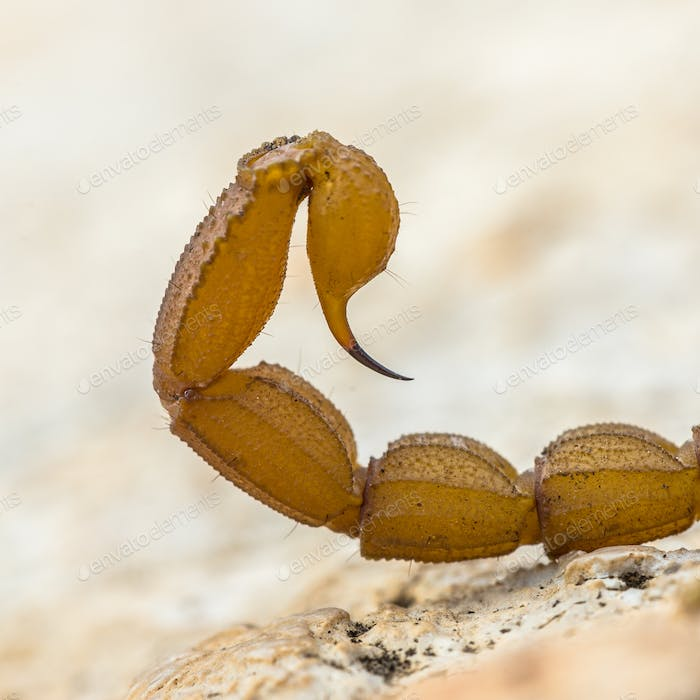 Scorpion sting close up