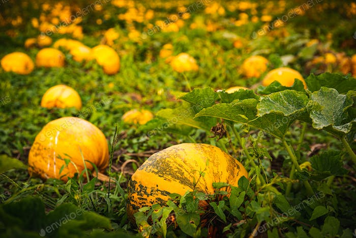 Closup of pumpkins on a field . Agriculture background