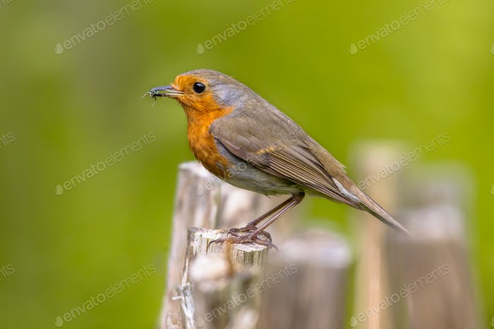 European Robin on fence with insect prey