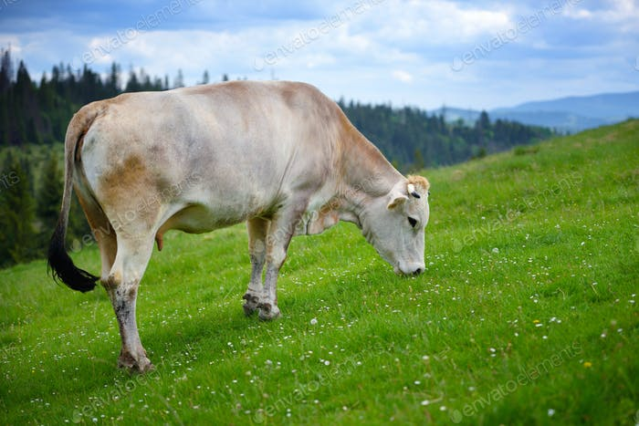 Cow grazing on a mountain pasture. Summer day