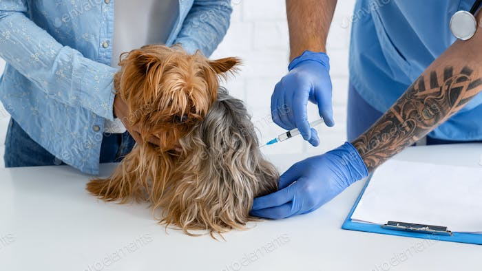 Pet vaccination. Veterinary practitioner making injection to Yorkshire terrier at hospital, closeup