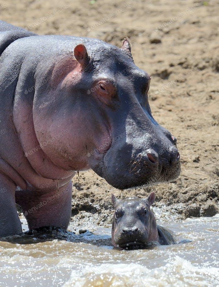Hippo family. Kenya, Africa