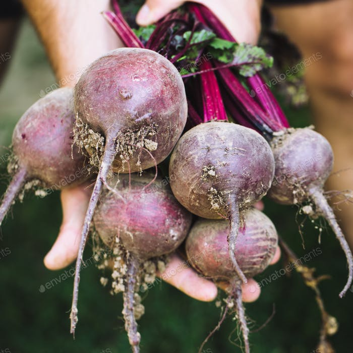 Farmer hands in gloves holding a bunch of freshly harvested beetroots and a garden spade