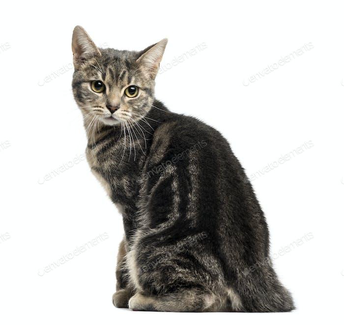 European cat sitting, looking backwards, isolated on white