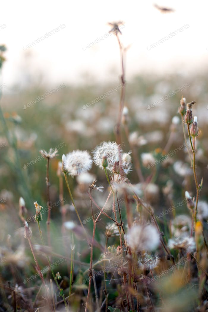 Field of Dandelion seeds in the sunset blowing away.